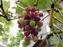 grape_leaf_purple_281086_m.jpg