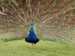 peacock_feathers_plumage_278116_m.jpg