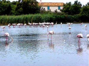camargue